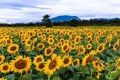 Chiêm ngưỡng tuyệt phẩm đồi hoa mặt trời lung linh giữa Đà Lạt