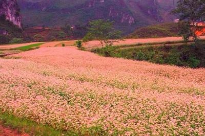 Hà Giang - Mùa hoa Tam Giác Mạch | 3 ngày 2 đêm